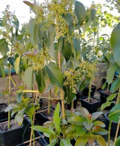 Árbol de aguacate Zutano en maceta grande