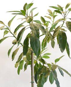 Árbol de aguacate Hass con 3 años