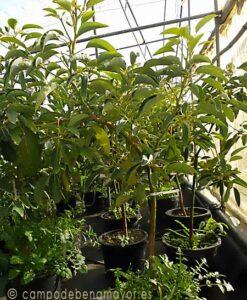 Árbol de aguacate Hass con 3 años de edad