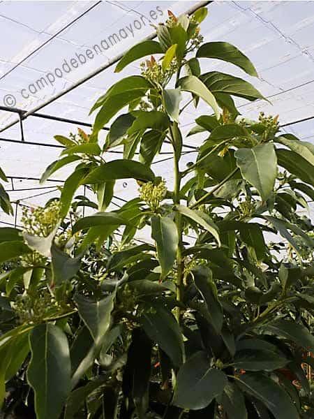 Árbol de aguacate variedad Fuerte con 4 años de edad y en floración
