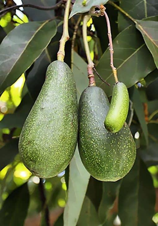 Fruto del árbol de aguacate Fuerte