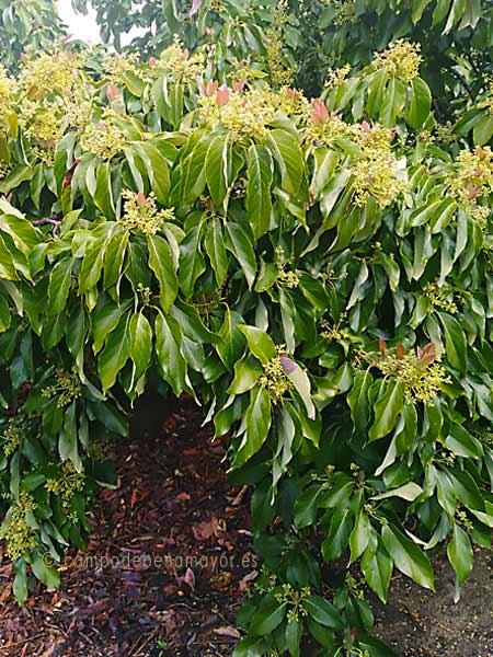 Árbol adulto de aguacate Zutano, en flor