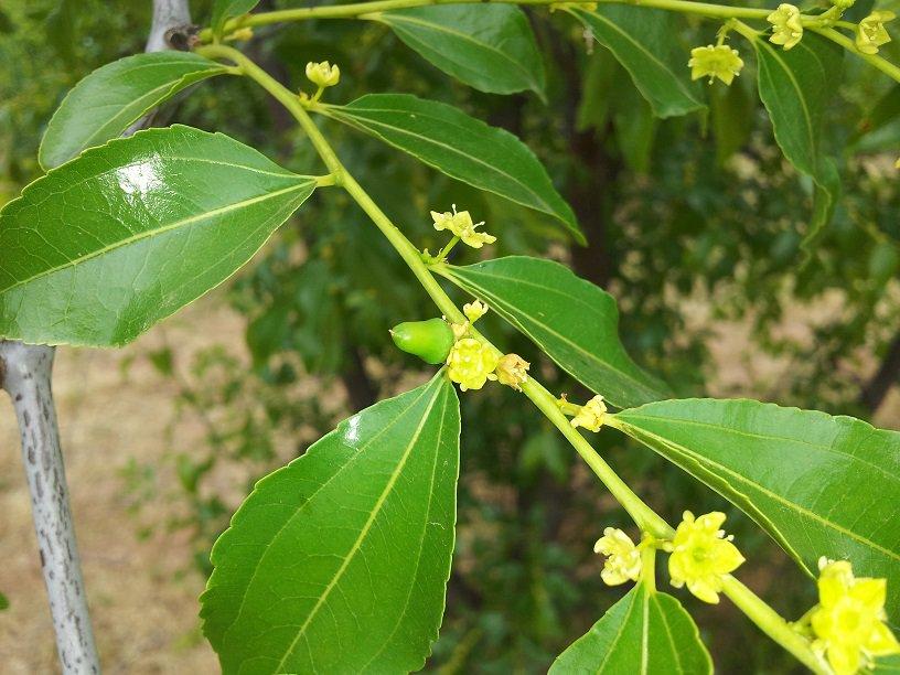 comprar árbol de azufaifo en maceta