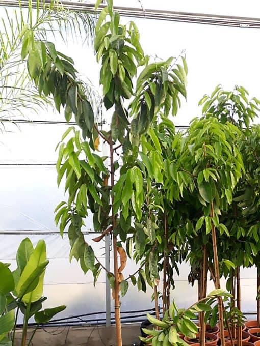 Árbol de guanábana - Graviola