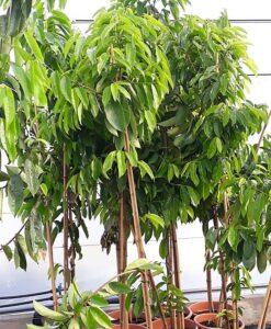 Aquí puedes comprar tu árbol de guanábana