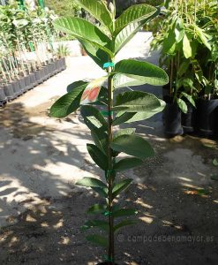 Plantas de guayaba fresa