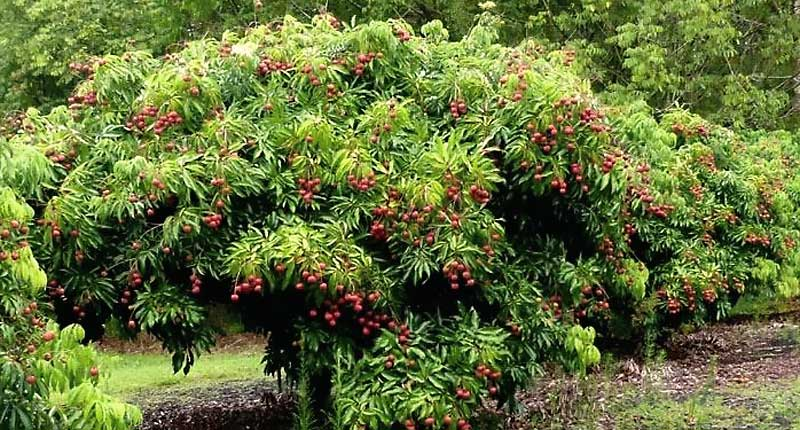 Árbol de lichis con fruta