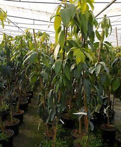 árbol de mango de la variedad Osteen con 2 años de edad