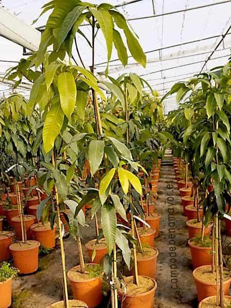 árbol de mango de la variedad Osteen con una altura superior a 1,9 metros