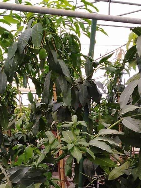 Frutal grande de mango Osteen con 4 años de edad