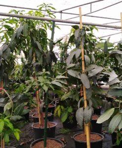 Árbol adulto de mango Osteen. Un frutal grande de 4 años