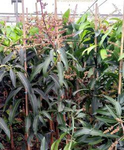 Árbol de mango Sensation con 2 años, en maceta