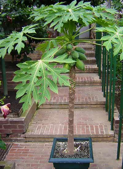 árbol de papaya en maceta que puedes cultivar en culqquier lugar