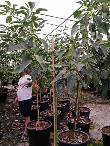 Árbol grande de aguacate Hass- 4 años
