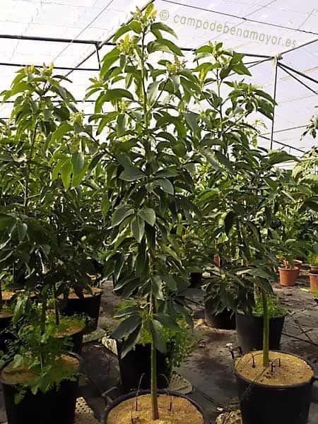 Árbol grande de aguacate Fuerte para comprar online