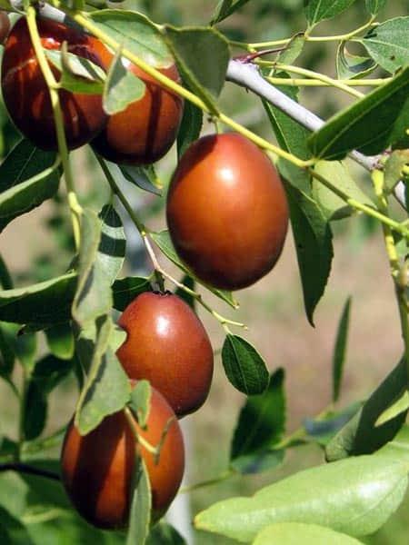 Aquí puedes comprar tu árbol de azufaifo en maceta