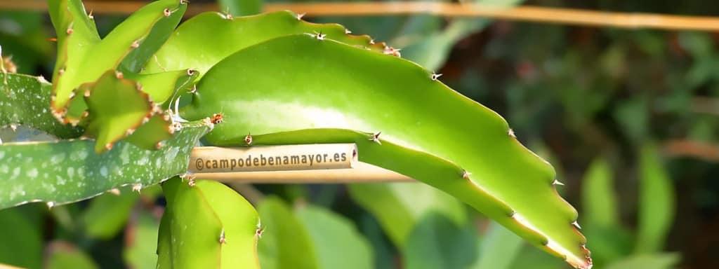 Cómo cultivar pitahaya