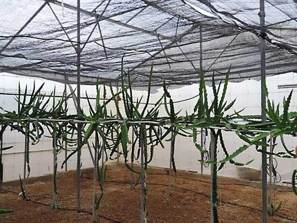 Temperatura e iluminación necesarias para cultivar pitahaya
