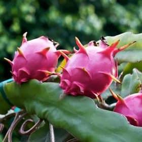 Comprar una planta de pitahaya bien desarrollada
