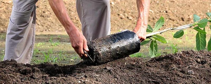 Conoce cuáles son los periodos adecuado para plantar aguacte