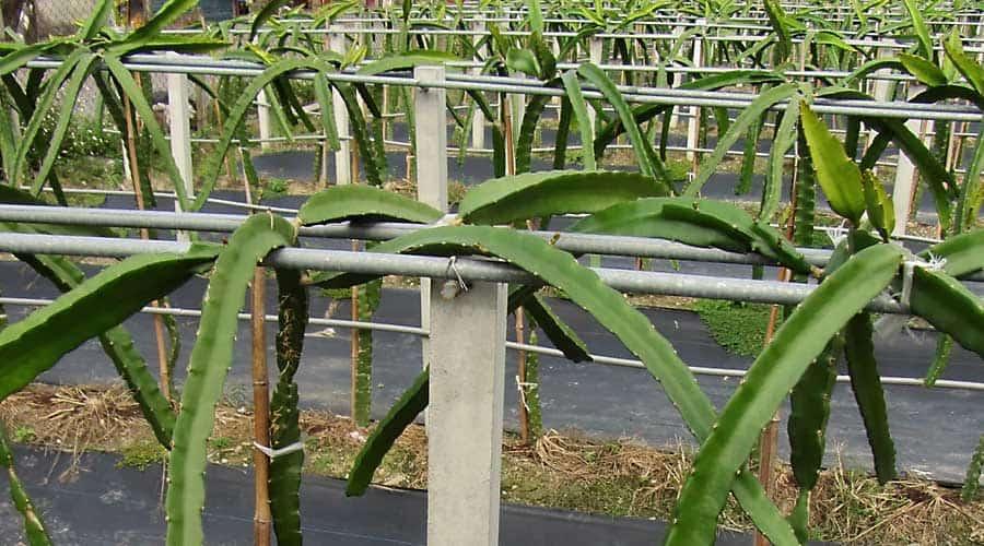 La pitahaya se debe cultivar sobre un soporte adecuado, por ejemplo, espaldera