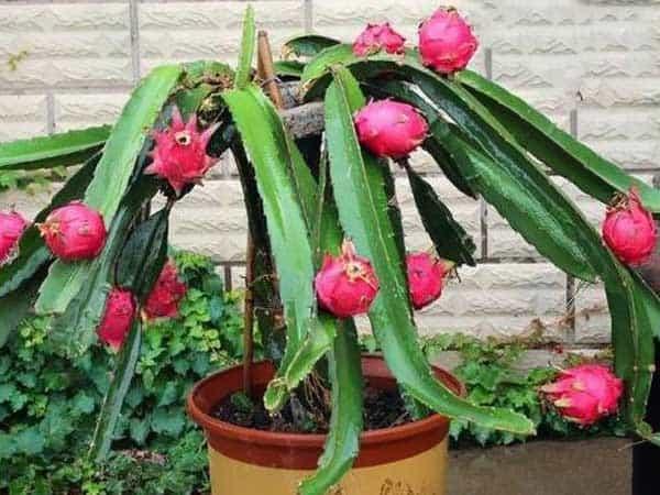 También puedes cultivar la pitahaya en maceta