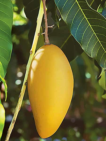 Fruta del árbol de mango de la variedad Ataulfo