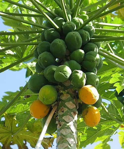 fruta de papaya hembra