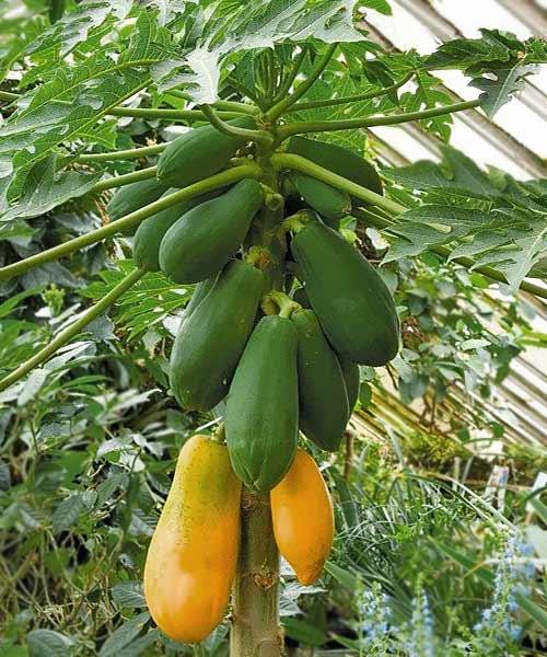 Fruta de papaya hermafrodita
