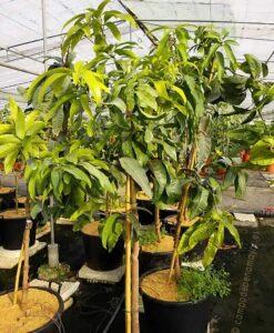 Árbol de mango de la variedad Keitt en maceta con 4 años de edad
