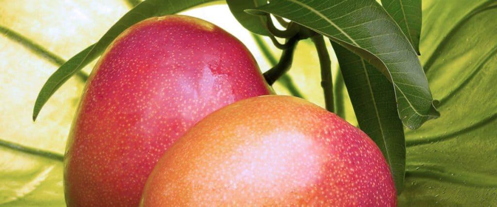Planta de mango y sus características