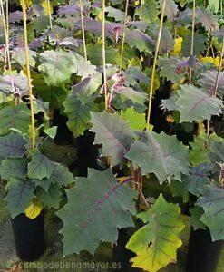 Plantas de Lulo en Campo de Benamayor