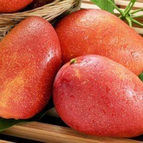 Planta de mango Irwin cultivada en Málaga