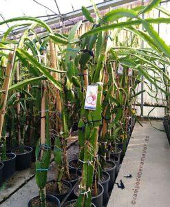 Plantas de pitahaya roja