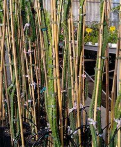 Aquí puedes comprar tus plantas de pitahaya hondurensis