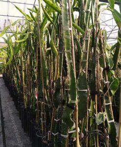 Planta de pitaya Halley Comet para comprar online