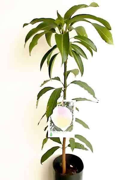 planta de mango Kensington Pride