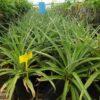 Plantas de piña tropical para comprar online