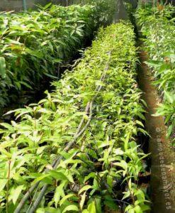 Árboles de mango Gomera 3
