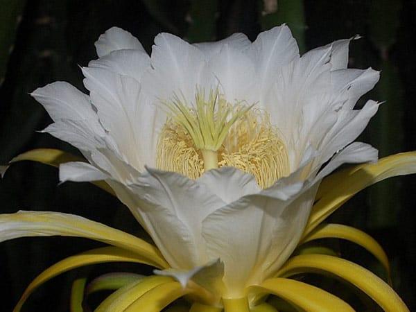 Cómo cultivar pitahaya sabiendo cómo polinizar sus flores