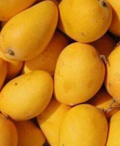 Semilla de mango Gomera-3. Vigor, y productividad como portainjerto de mango