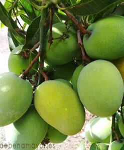 Fruta de mango Gomera-3 para extraer su semilla