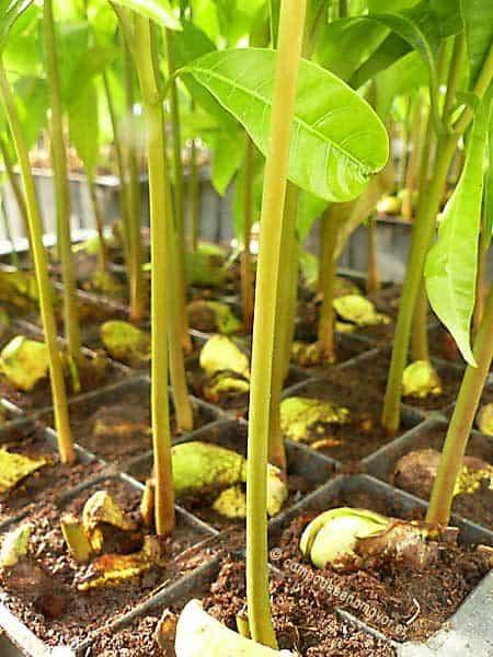 Semillas de mango Gomera-3 germinadas
